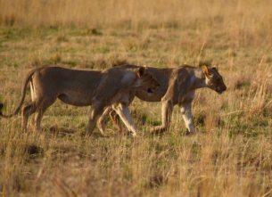 AAA lions