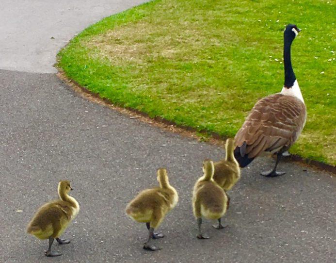 Kew geese