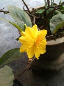 apricot flower