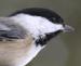 Black-capped chickadee – Poecile atricapilla