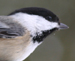 Black-capped chickadee – Poecile atricapilla