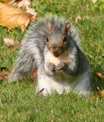 This squirrel present a classic pose for the hunter when squirrel hunting