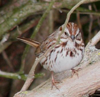 Song Sparrow – Melospiza melodia