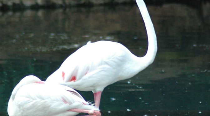 American Flamingo – Phoenicopterus ruber