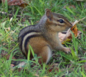 Eastern Chipmunk – Tamias striatus