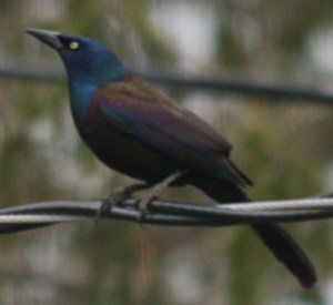 "Common Grackle are very ""common"" blackbirds."