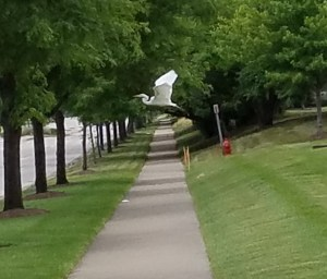 "Great egret flying - notice he ""S"" curve in its neck"