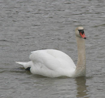 Mute Swan was introduced to the United States in the late 19th century