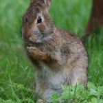 new_england_cottontail