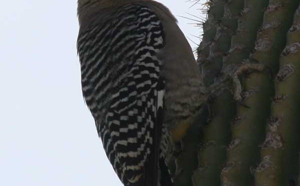 Northern Flicker – Colaptes Auratus