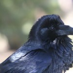 raven_picture