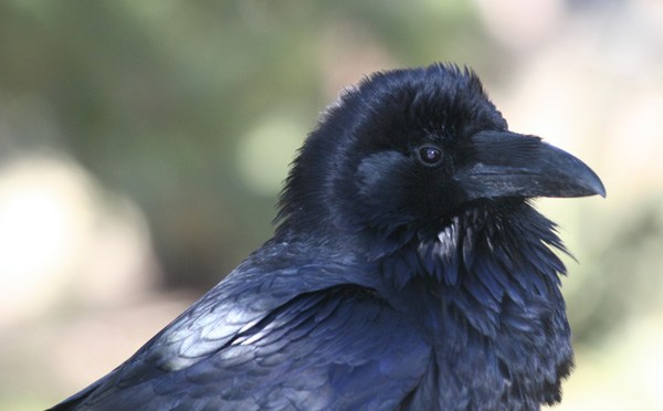 Common Raven – Corvus corax