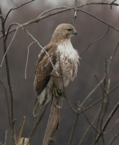 Red-tailed Hawks are most often seen soaring high above the ground, looking for food.