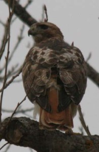 "The red-tailed hawk (Buteo jamaicensis) is a bird of prey, one of three species colloquially known in the United States as the ""chickenhawk,"""