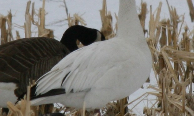 Snow Goose – Chen Caerulescens
