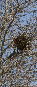 Look high in trees for squirrel nests