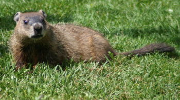 Groundhog – Marmota monax