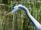 great_blue_heron_thumb