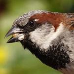 house_sparrow_thumb