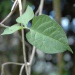 Climbing_nightshade_leaf