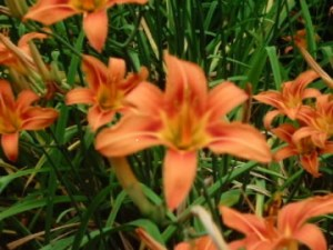 Day lily cultivar flowers are highly diverse in colour and form