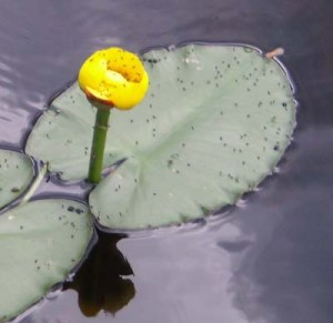 "The phrase ""water lily"" is used to describe aquatic plants"