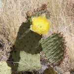 Prickly pears typically grow with flat, rounded cladodes (also called platyclades) that are armed with two kinds of spines
