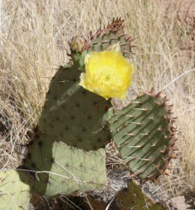 Prickly pear cactus typically grow with flat, rounded cladodes (also called platyclades) that are armed with two kinds of spines