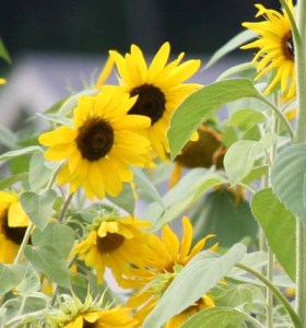 Sunflowers are annuals with showy, daisylike flowerheads that are usually 2-4 inches across and bright yellow