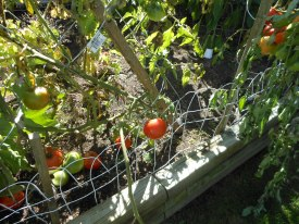 tomatoes_on_the_vine
