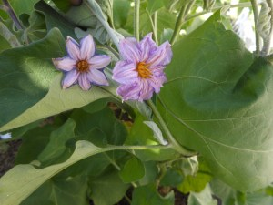 Eggplant_flower