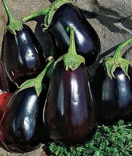 Eggplant gardening growing black beauty