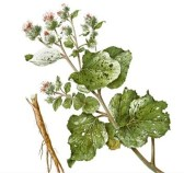 Burdock plant stems, leaves and root picture