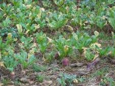 turnip gardening patch