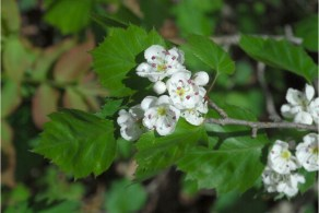 hawthorn a wild edible picture USDA plant database copy write free