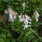 Corydalis solida, mix (3 av 11)