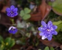 Hepatica nobilis plena (2 av 3) (640x513)