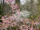 Prunus 'Accolade' (2 av 2) (640x481)