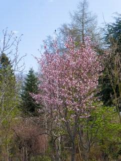 Prunus sargentii, bergkörsbär (3 av 3) (481x640)