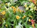 Tulipa neustruevae, tidig men har en tendens att lägga sig