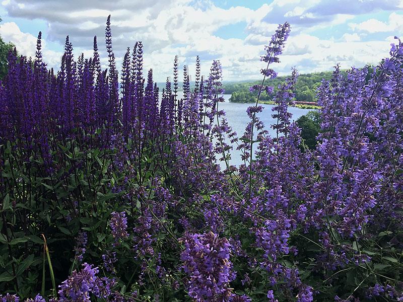 Kantnepeta och stäppsalvia på Jonsereds trädgårdar, högt ovanför sjön Aspen