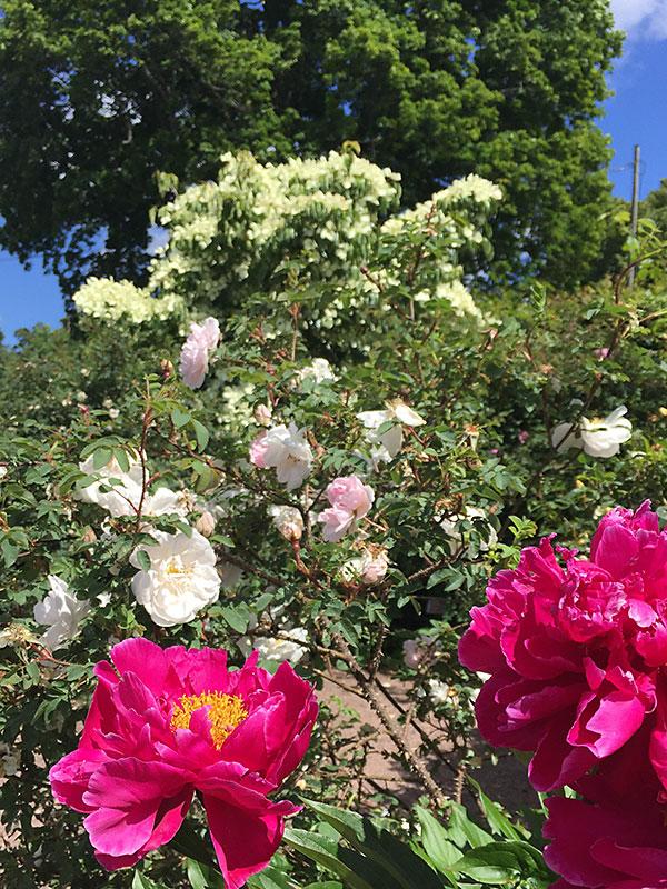 Rosenträdgården i Jonsereds trädgårdar