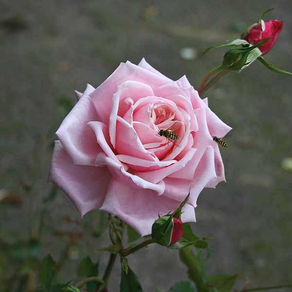 'Blossomtime' - storblommiga klätterrosor