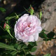 'Duchesse d'Angouléme' - gallicarosor