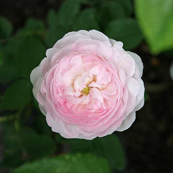 'Duchesse de Montebello' - gallicarosor