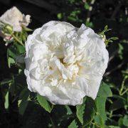 'Mme Plantier' - albarosor