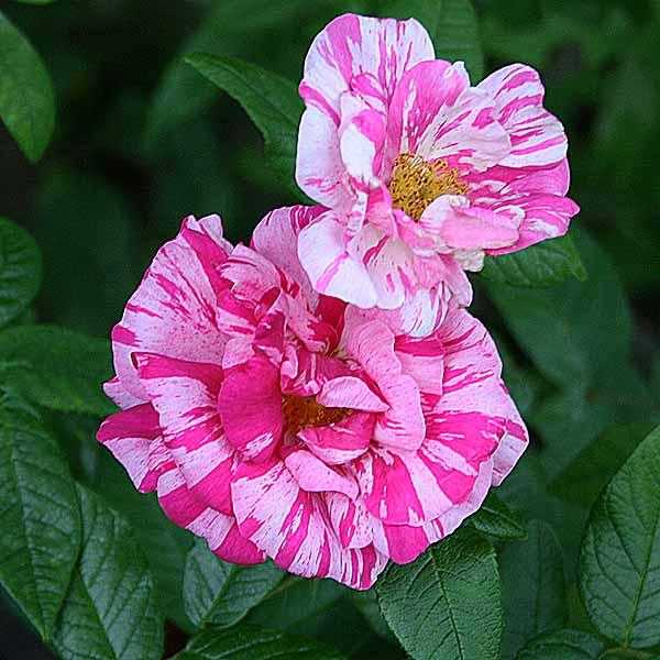 'Rosa Mundi' - gallicarosor