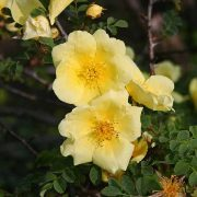 Rosa hugonis - vildrosor