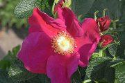 Rosa rugosa 'Rubra' - vildrosor