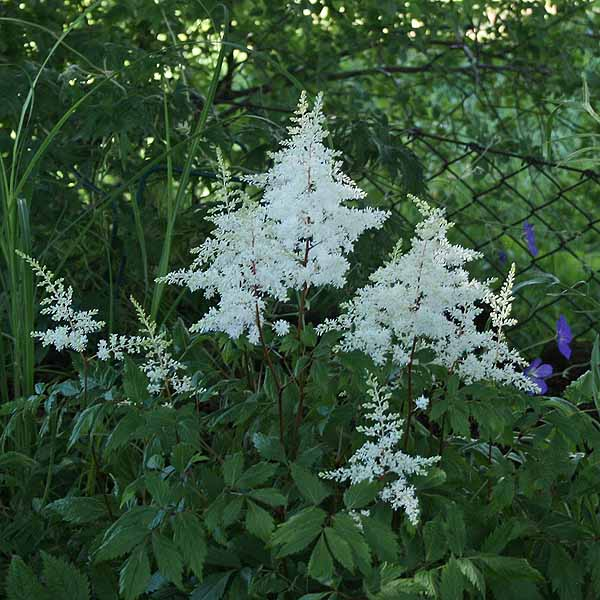 Astilbe 'Rock and Roll'